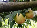Juicy Peach (108807151).jpeg