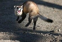 Black Footed Ferret Wikipedia