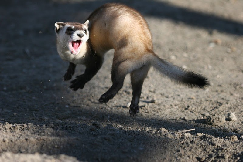 Jumping black footed ferret