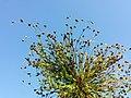 Juncus sphaerocarpus sl3.jpg