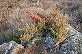Juniperus communis in Foret des Palanges (2).jpg