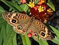 Junonia evarete (West Indian buckeye butterfly) (Florida, USA) 2 (17072436649).jpg