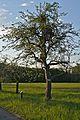 Kühkopf-Knoblochsaue Friedberger Bohnapfel Tree.jpg