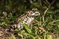 K.Kalaentzis - Bufotes viridis, Kastellorizo.jpg