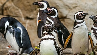 Potter Park Zoo - Potter Park Zoo's Magellanic penguins