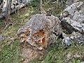 Kalkstein mit eisenblüte am säuling.jpg