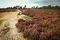 Kalmthoutse Heide in de herfst.jpg