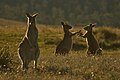 Kangaroo fight in the golden hour.jpg