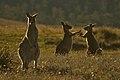 Kangaroo fight in the golden hour.jpg