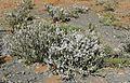 Kapok Bush (Eriocephalus ericoides) (32399208150).jpg