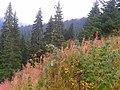 Kastamonu, Ilgaz, Çam ormanları Eylül 2015 - panoramio (4).jpg