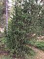 Kataja (Juniperus communis).jpg