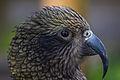 Kea (Nestor notabilis) -head -Twycross Zoo-8.jpg