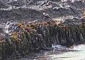 Kelp (31131833320).jpg