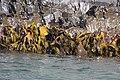 Kelp - Pennicott Bruny Island cruise (33913454055).jpg