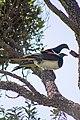 Kererū New Zealand Pigeons Mating (4 of 4).jpg