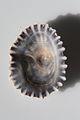 Kioloa Seashell 043.JPG