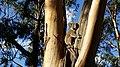 Koala in eucalyptus.jpg