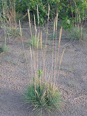 Koeleria glauca - Image: Koeleria glauca (habitus)