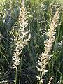 Koeleria macrantha (3880455984).jpg