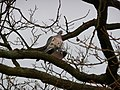 Kopulierende Tauben.JPG