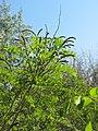 Korina 2012-05-23 Amorpha fruticosa 1.jpg