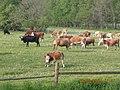 Krávy 07 - panoramio.jpg