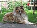 Krolewo Rough Collie.jpg