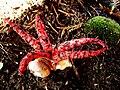 Květnatec Archeův -2.jpg