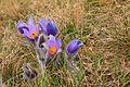 Kvetoucí koniklece v PP Kobylinec 38.jpg