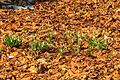 Kvetoucí sněženky v PP Sněženky ve Vysokém lese 38.jpg