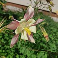 Kwiat Aquilegia x hybrida.jpg