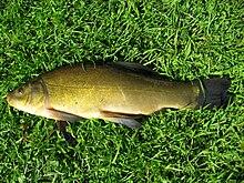 фото рыба линь
