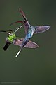 L-R Green-crowned Brilliant (Heliodoxa jacula) Hummingbird with Green Hermit, Phaethornis guy.jpg