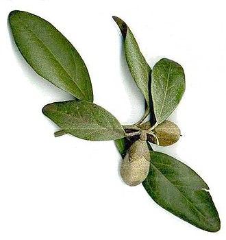Lagunaria - Image: Lagunaria patersonii, fruit