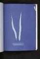 Laminaria fascia (NYPL b11861683-419711).tiff