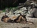 Landau Zoo Kälber Südliches Streifengnu Juni 2011.JPG