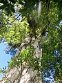 Largest known living tōtara, the Pouakani Tree.jpg