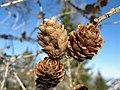 Larix decidua - Larch cones.jpg