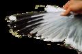 Larus armenicus wing 02.png