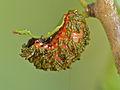 Larva of Poison Arrow Leaf Beetle (Diamphidia vittatipennis) covered with its own faeces (12749712033).jpg