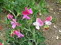 Lathyrus odoratus 'Cupid Mixed' (Leguminosae) plant.JPG