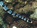 Laticauda colubrina (Zamboanguita) 2.jpg