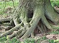 Latticed Oak Roots - geograph.org.uk - 395650.jpg