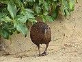 Le weka, oiseau endémique de Nouvelle-Zélande.jpg