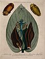Leaf and flowers of skunk cabbage (Symplocarpus foetidum), a Wellcome V0044310.jpg