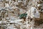 Leafs of faded Physoplexis comosa Stevia Gherdeina.jpg