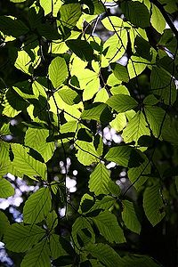 The leaves of a Beech tree