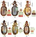 Lebiini type specimens - ZooKeys-284-001-g007.jpeg