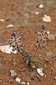 Ledebouria sp. (Asparagaceae) (6227992656).jpg